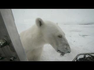 Белый медведь — мойщик окон